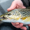 Lough Carra brown trout caught on a black sedge