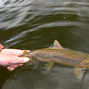 Returning a fly caught Callow Loughs Brown Trout