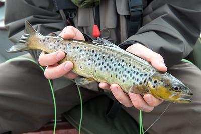 a Lough Conn trout