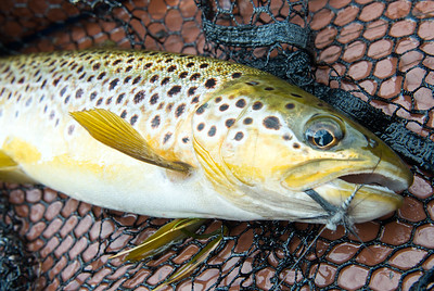Brown trout caught on spent gnat mayfly