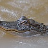 Juvenile Alligator