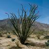 75/365<br /> Ocotillo (Fonquieria splendens)