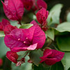 73/365<br /> San Diego Red Bougainvillea