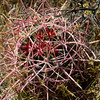 77/365<br /> I believe this is a small Fire Barrel Cactus