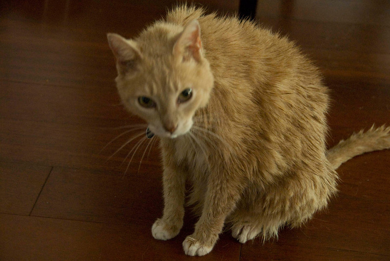 365/108 18Apr<br /> Kipling after a bath. Not happy.