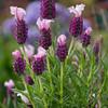 70/365<br /> Spanish Lavender
