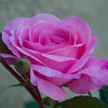 87/365<br /> Gertrude Jekyll Rose.  Smells so nice.  Actually, I always buy roses with a strong scent. It must be more than just pretty.  :-)