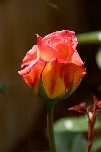 68/365<br /> Sheila's Perfume Rose