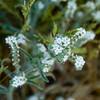 78/365<br /> Popcorn Flower (Plagiobothrys nothofulvus)