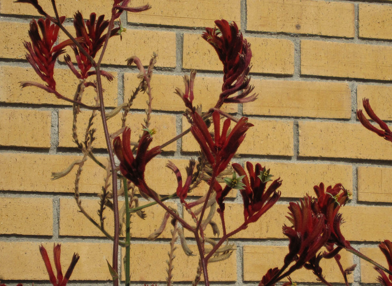 136/365<br /> These Kangaroo Paws looked much more interesting waiting in drive-thru line at Starbucks.