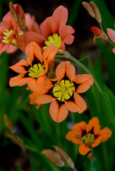 64/365<br /> Spraxis flowers in my garden.