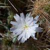 82/365<br /> Desert Chicory (Rafinesquia neomexicana)