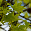 67/365<br /> New leaves on my Sweet Gum (Liquid Amber) tree.<br /> Despite my neglect, but thanks to my new Gardener, SPRING has come to my garden.