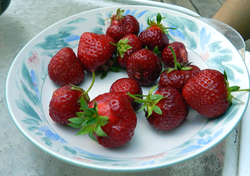 This is not wild food exactly, but July's full moon is the strawberry moon, and signals it's time for strawberry festivals. These were some of the best melt in your mouth strawberries (Fragaria x ananassa) i can remember.