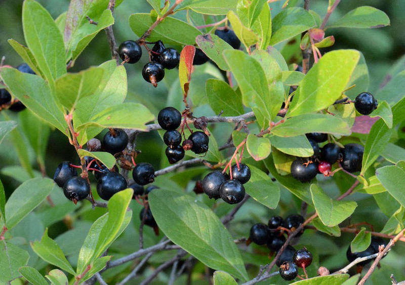 Dwarf Huckleberry -- Gaylussacia dumosa, compare well with blueberries in terms of flavor