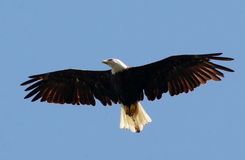"Bald Eagle -- Haliaeetus leucocephalus, national icon, embirdyment of conservation effort success, and reminder of indirect human destructive potential. <br /> <br /> 'If we are separated I will<br /> try to wait for you<br /> on your side of things<br /> <br /> your side of the wall and the water<br /> and of the light moving at its own speed<br /> even on leaves that we have seen<br /> I will wait on one side<br /> <br /> while a side is there' ~ ""Travelling Together"" by William Stanley Merwin"