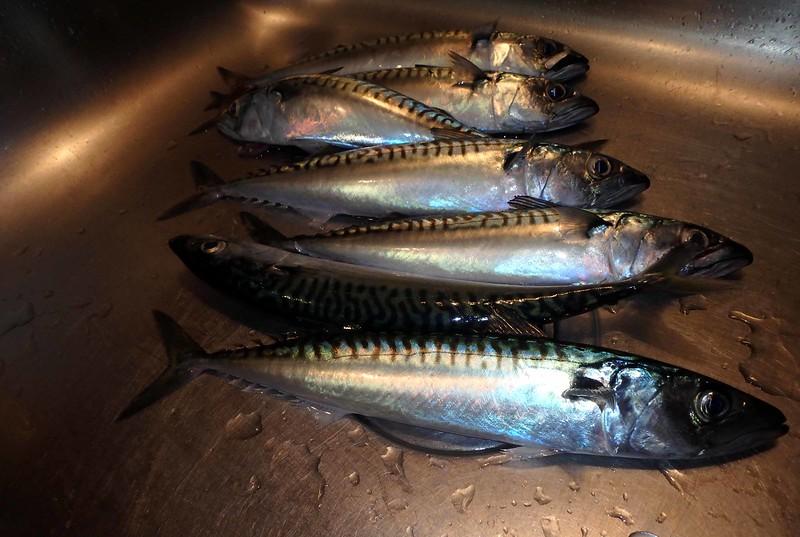 Atlantic Mackerel -- Scomber scombrus