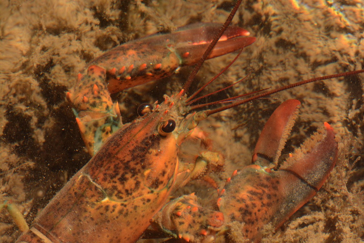 "Mating might reveal the most interesting lobster behavior as a female can only mate after molting when highly vulnerable, ""with a poignant gentleness that is almost human."" ~ Dr. Jelle Atema, Maine Biological Laboratory"