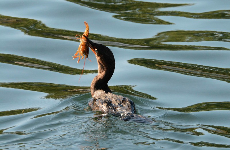 A cormorant shows a juvenile lobster before belting it down tail-first.