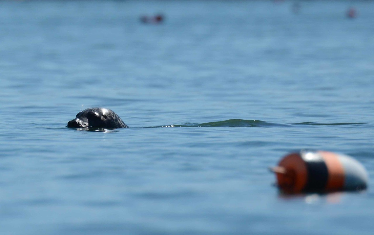 "Harbor Seal -- Phoca vitulina<br /> <br /> ""Live in the sunshine, swim in the sea, drink the wild air."" ~ R W Emerson"