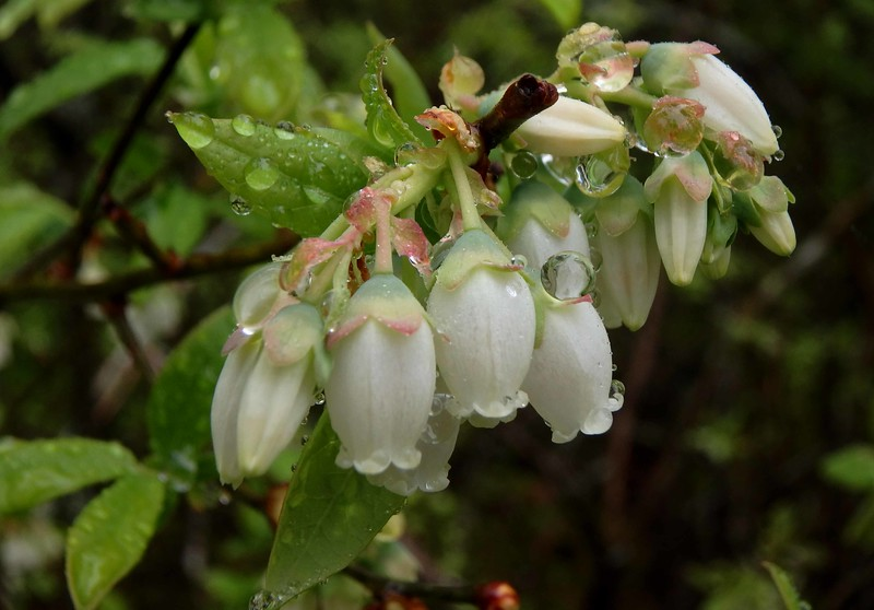 Northern Highbush Blueberries -- Vaccinium corymbosum blooms and dewdrops in late May.