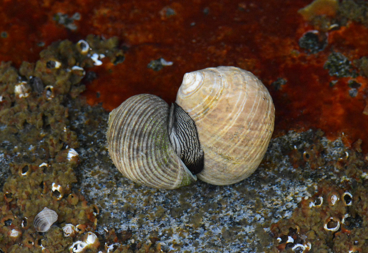 algae lovers. Common Periwinkle (introduced) -- Littorina littorea
