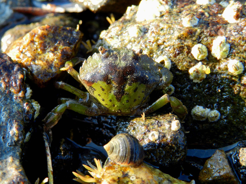 Northern Rough Periwinkle -- Littorina saxatalis, sneaking behind a European Green Crab -- Carcinus maenas