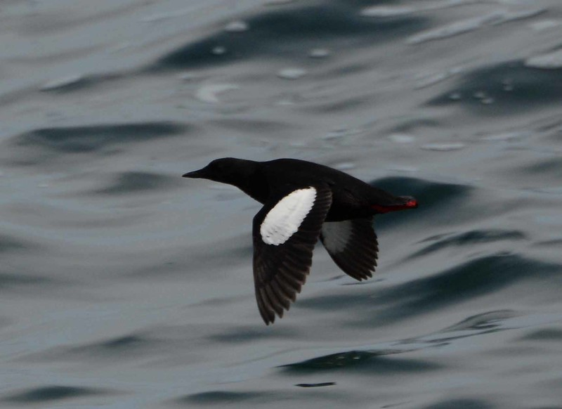 Black Guillemot, sporting breeding plumage, late May.