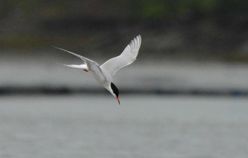 Common Tern -- Sterna hirundo