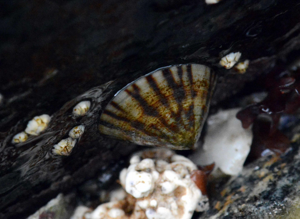 "a Tortoise-Shell Limpet -- Tectura testudinalis, reminds me to move with the tides<br /> <br /> '...So if of the limpet breed ye be,<br /> Beware life's brutal shock;<br /> Don't take the chance of the changing sea,<br /> But -- cling like hell to your rock.' ~ from ""Security"" by Robert Service"