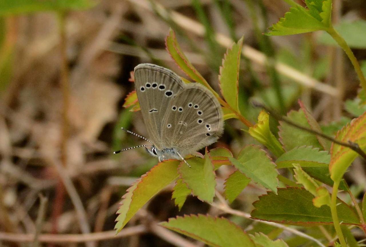 Silvery Blue -- Glaucopsyche lygdamus