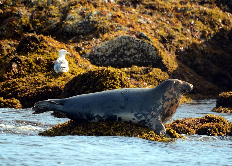"Gray Seal -- Halichoerus grypus, ""hook-nosed sea pig""<br /> <br /> ""Pleasures are all alike, simply considered in themselves."" ~ John Selden"