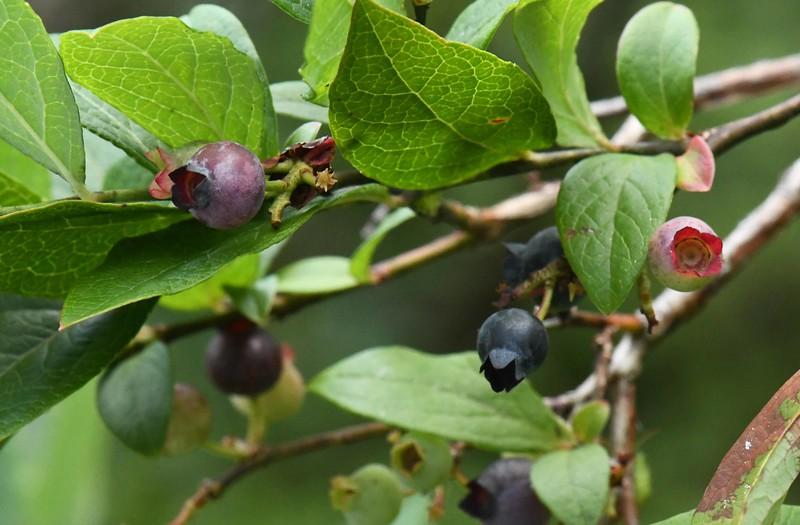 Northern Highbush Blueberries -- Vaccinium corymbosum