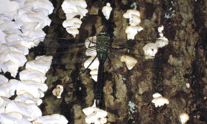 Green Darner -- Anax junius, resting on sulphur polyphore aka chicken of the woods fungi (Laetiporus sulphureus)
