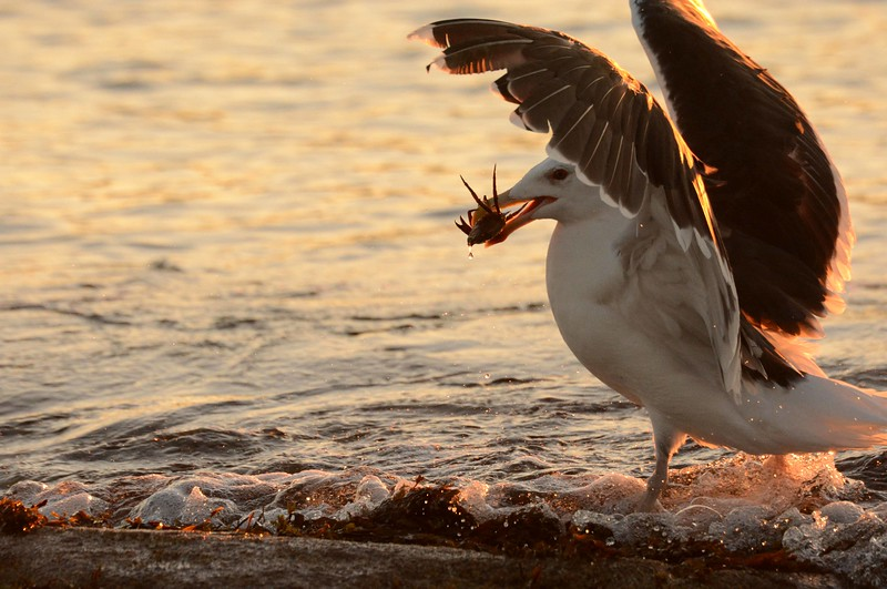 Black-backed Gull nabs a crab at Popham Beach SP
