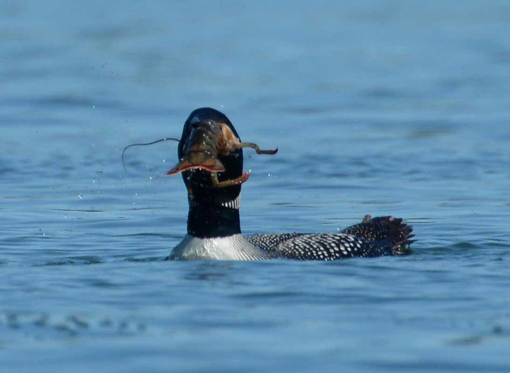 Everyone has a different way of enjoying lobster. This loon surfaced with a lobster speared and declawed, then spent a little while removing the legs to swallow the bulk whole.