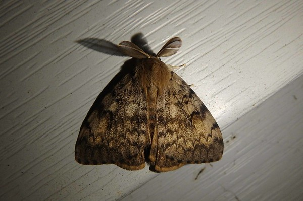 Gypsy Moth (m) -- Lymantria dispar, Hodges# 8318 MPG 930141