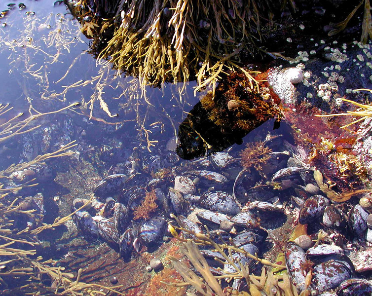 "Blue Mussels -- Mytilus edulis, in the salt pond tide pools where Rachel Carson gathered material for her book ""The Edge of the Sea"" (1955)"