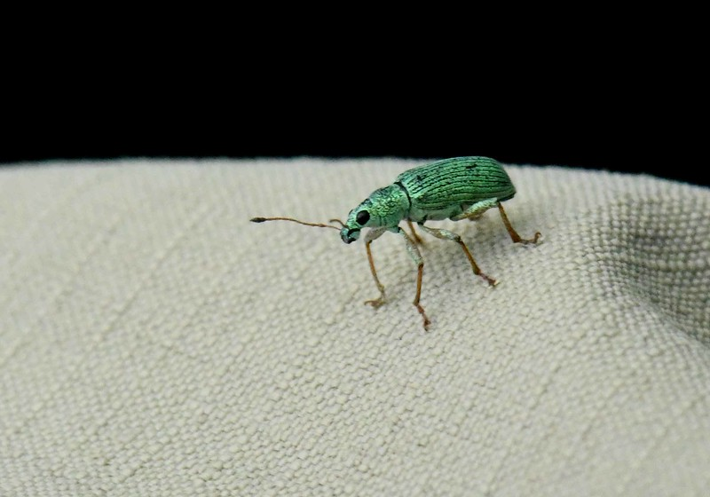 Green Immigrant Leaf Weevil -- Polydrusus formosus