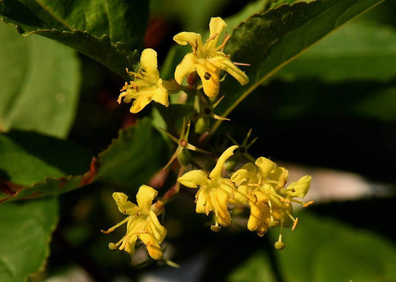 Northern Bush Honeysuckle -- Diervilla lonicera, a native Honeysuckle