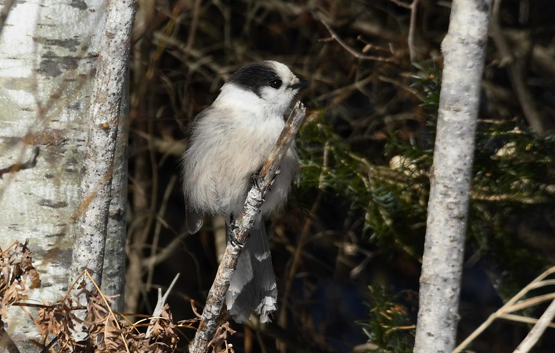 "Gray Jay -- Perisoreus canadensis, the camp robber of the north. Perisoreus from Greek 'heaps up' due to it's food caching nature.<br /> <br /> ""The color of truth is gray."" ~ Andre Gide"