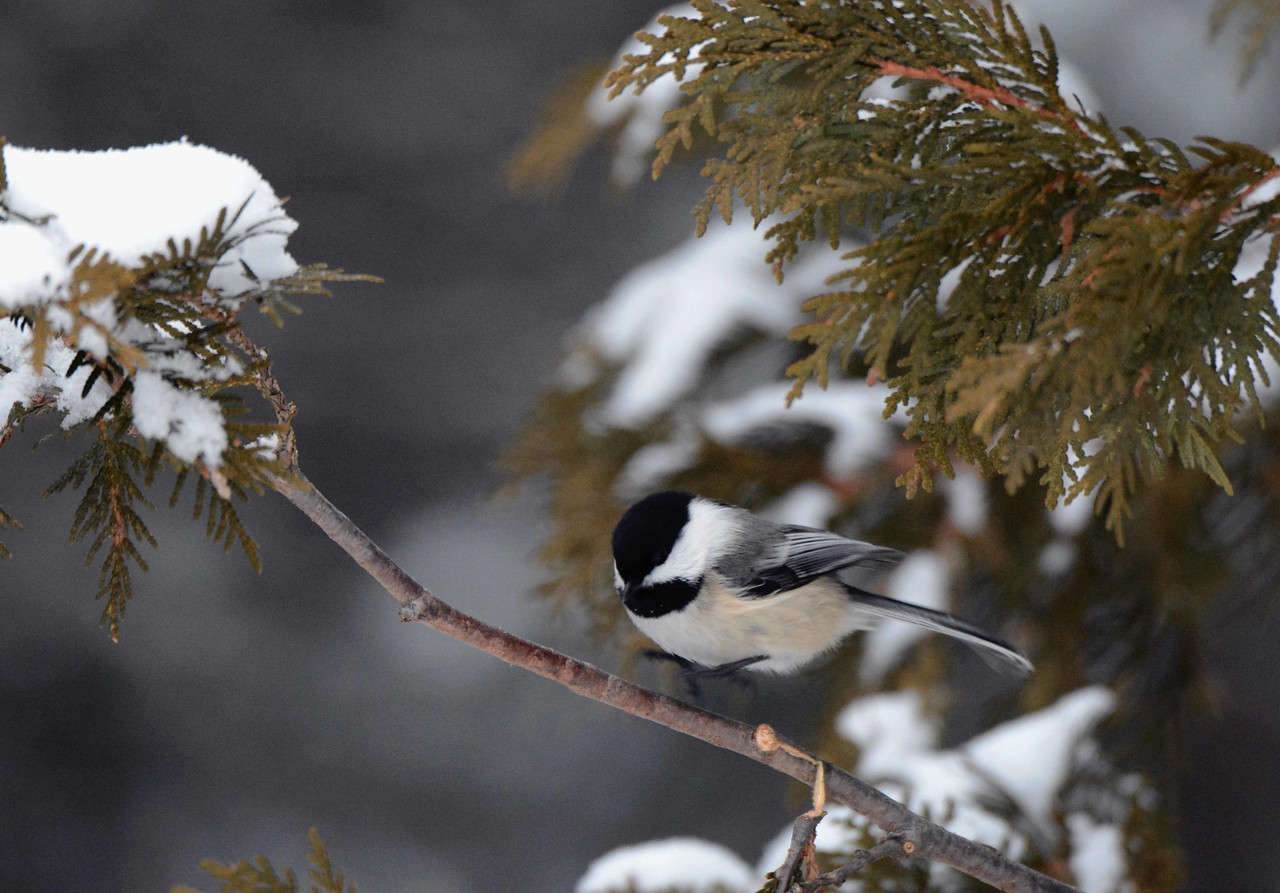 Black-capped Chickadee -- Poecile atricapillus, zesty in all seasons