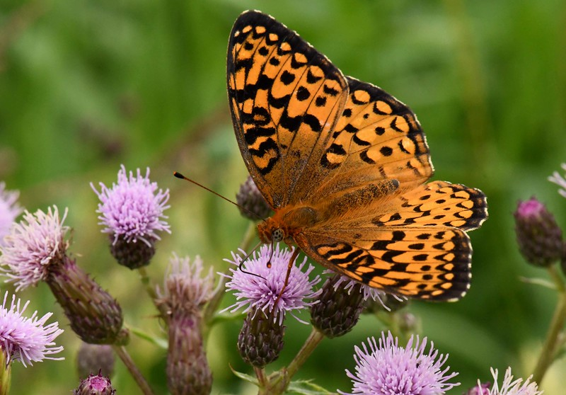 Atlantis Fritillary -- Speyeria atlantis, on Canada Thistle (alien, actually from Europe)
