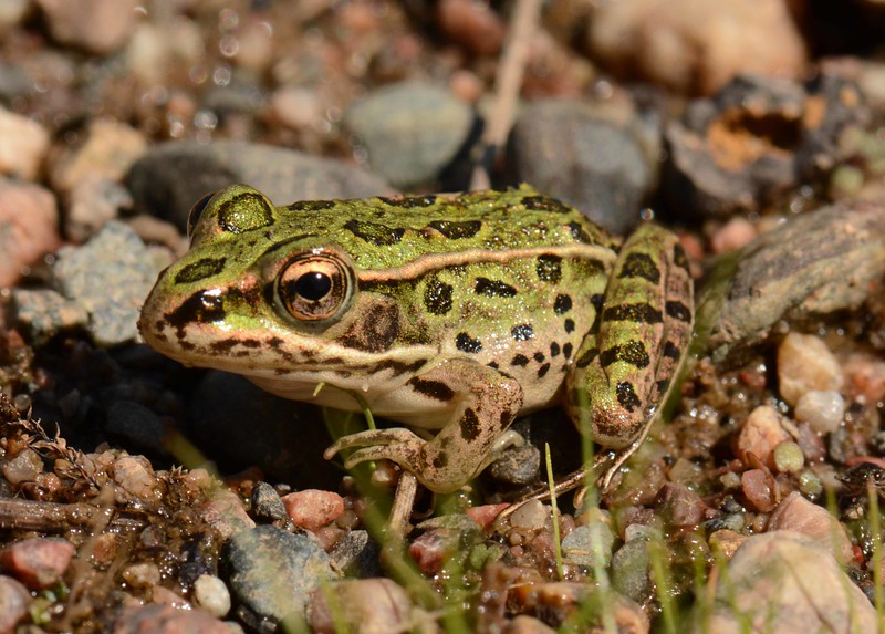 Northern Leopard Frog -- Rana pipiens