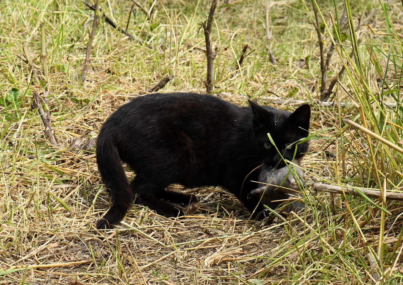 This farm cat caught a rat, but stole off before closer inspection.