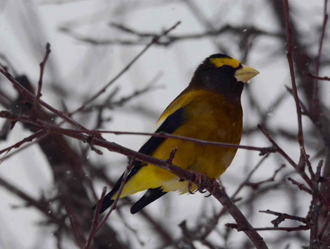 Evening Grosbeak (m) -- Coccothraustes vespertinus<br /> <br /> Different undertail covert markings on this male and the one in the previous photo are an interesting detail.