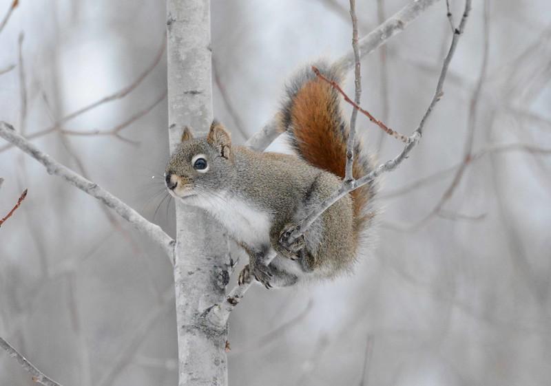 Red Squirrel -- Tamiasciurus hudsonicus
