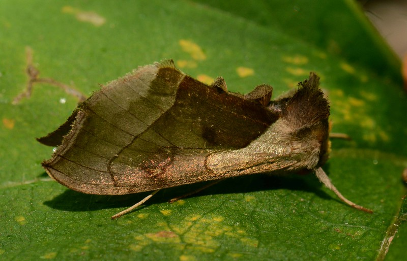 Green-patched Looper Moth -- Diachrysia balluca, Hodges# 8897 MPG 93-1179, aka Hologram Moth