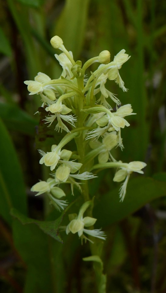Ragged Fringed Orchid -- Platanthera lacera