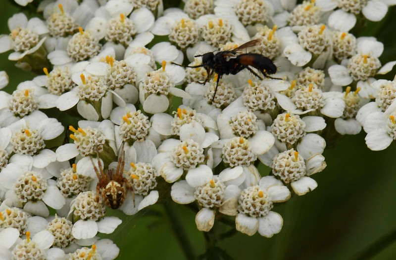 Yarrow -- Achillea millefolium, leaves are sometimes used in herbal medicine, and also just for tea, but the flower heads have multiple uses as seen here.